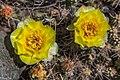 Roadside BrittlePickly-Pear Cactus (Opuntia fragillis) near Savona - (28639189495).jpg
