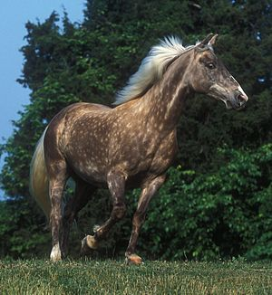 Rocky Mountain Horse - Silver dapple-colored Rocky Mountain Horse