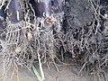 Roots of Sugarcane.jpg