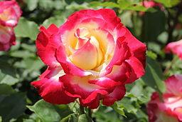 Rosa 'Double delight' 1977