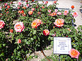 Rosa 'Floricel' P. Dot 1957 RPO.jpg