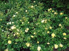 Rosa 'Golden Border' 1.jpg