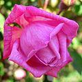 Rosa Maman Cochet 1.jpg