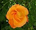 Rosa cor de salmão (350917883).jpg