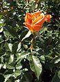 Rosa pumpkin patch.jpg