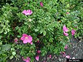 Rosa rugosa inflorescence (53).jpg