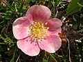 Rosa spinosissima inflorescence (24).jpg