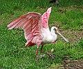 Rosalöffler im Weltvogelpark Walsrode 2H1A8819WI.jpg