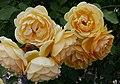 Rosarium Baden Rosa 'Graham Thomas' Austin 1983 04.jpg