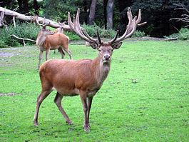 Rothirsch - Cervus elaphus - Dortmund-Zoo.jpg