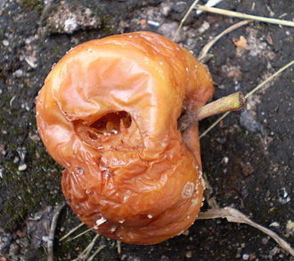 Food spoilage - This apple has decomposed to the point that it is not of a quality appealing to humans to eat