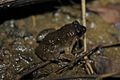 Round-tongued Floating Frog (Occidozyga martensii)6.jpg