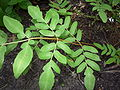 Royal fern closeup.jpg
