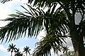 Roystonea regia var. maisiana 13zz.jpg