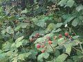 Rubus fruticosus wetland 13.jpg