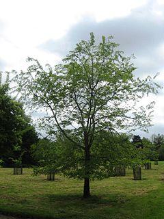 <i>Ulmus szechuanica</i> Species of tree