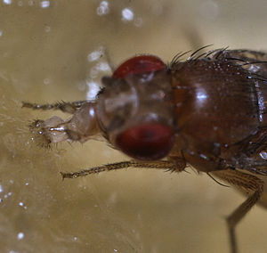 Drosophilidae - Image: Sa fruitfly 3