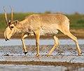 Saiga antelope at the Stepnoi Sanctuary (cropped).jpg