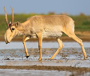 Saiga antelope at the Stepnoi Sanctuary (cropped).jpg