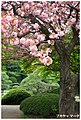 Sakura Tree At Shinjuku Gyoen Garden (31020241).jpeg