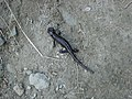 Salamandra Lanzai.JPG