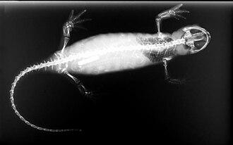 Salamander - X-ray image of salamander