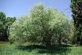 Salix fragilis 01 by-dpc.jpg