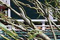 Salix matsudana Tortuosa 10zz.jpg