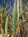 Salix melanopsis (29137145264).jpg