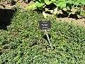 Salix myrtilloides 'Pink Tassels' (28184396954).jpg