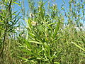 Salix viminalis 010.jpg