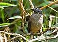 Saltator coerulescens -Santa Domingo, Costa Rica-8.jpg