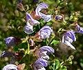 Salvia africana 1.jpg