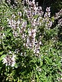 Salvia fruticosa 1.jpg