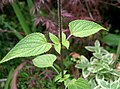 Salvia guaranitica2.jpg