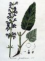 Salvia pratensis — Flora Batava — Volume v4.jpg