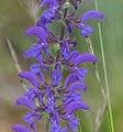 Salvia pratensis in Lozere (2).jpg