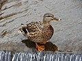 Samiczka kaczki krzyżówki. - panoramio.jpg
