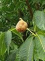 Sapindales - Aesculus flava - 3.jpg