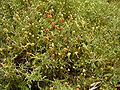 Sarcopoterium spinosum fruit RJP 02.jpg