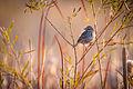 Savannah Sparrow (Passerculus sandwichensis) (22386292846).jpg
