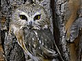 Saw-Whet Owl, Evening (26643004132).jpg