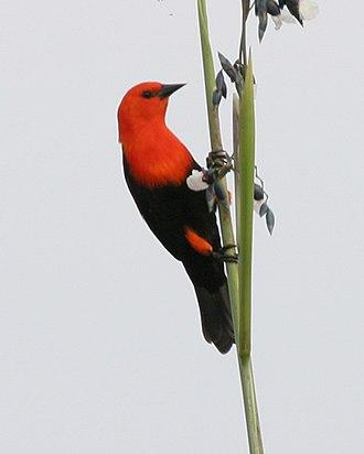 Scarlet-headed blackbird - Image: Scarlet headed blackbird (Amblyramphus holosericeus) Flickr Lip Kee