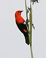 Scarlet-headed blackbird (Amblyramphus holosericeus) - Flickr - Lip Kee.jpg