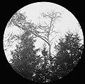 Schade, hogere planten, zwammen, dennenroest, Bestanddeelnr 193-0845.jpg