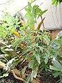 Schefflera actinophylla - Denver Botanic Gardens - DSC00895.JPG