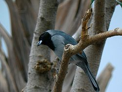 Schistochlamys melanopis -Pittsburgh National Aviary-8a.jpg