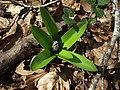 Scille lis-jacinthe Aubrac.jpg