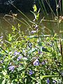 Scutellaria galericulata sl6.jpg