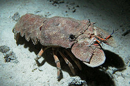 A blue-grey slipper-lobster with rust cloured stippling on a seabed of similar blue-grey. It has black eyes and orange appendages and antennules. The lobster is seen facing towards the right and front and has a prominent shadow below it.